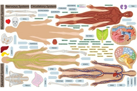 Human Body Wall Science Decals